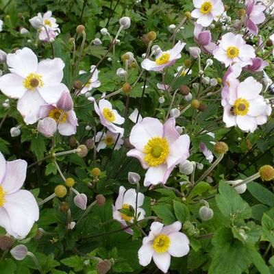 Anemone tomentosa 'Albadura' -