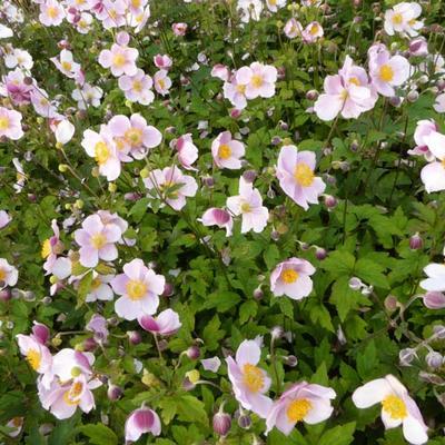 Anemone tomentosa 'Robustissima' -