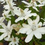 Anemopsis californica - Moeras Houttuynia - Anemopsis californica
