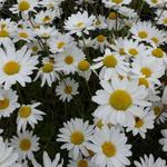 Anthemis carpatica 'Karpatenschnee' - Anthemis carpatica 'Karpatenschnee' - Schubkamille