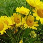 Anthemis x hybrida 'Kelwayi' - Gele kamille - Anthemis x hybrida 'Kelwayi'