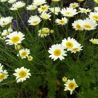 Anthemis x hybrida 'Sauce Hollandaise'