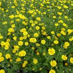 Gele kamille - Anthemis tinctoria 'Charme'
