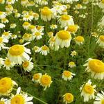 Anthemis tinctoria 'Lemon Ice' - Gele kamille