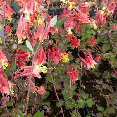 Aquilegia canadensis 'Little Lanterns' -