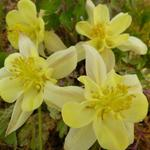 Aquilegia chrysantha 'Yellow Queen' - Akelei