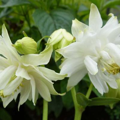 Aquilegia vulgaris 'Green Apples' - Akelei