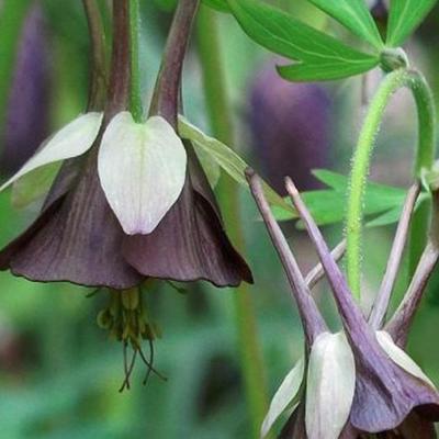 Aquilegia viridiflora 'Chocolate Soldier' -