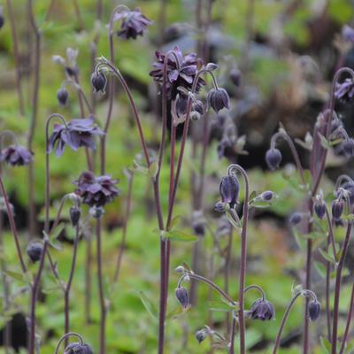 Aquilegia vulgaris var. stellata 'Black Barlow' -