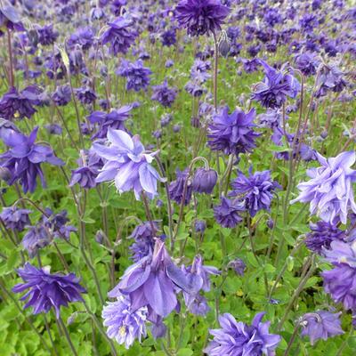 Aquilegia vulgaris 'Blue Barlow' -