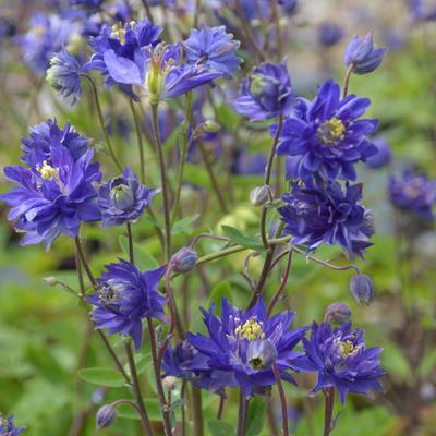Aquilegia vulgaris 'CLEMENTINE Blue' -