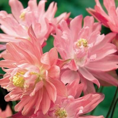 Aquilegia vulgaris 'CLEMENTINE Salmon Rose' -