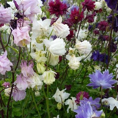 Aquilegia vulgaris 'Plena' -