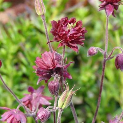 Aquilegia vulgaris 'Ruby Port' - Akelei