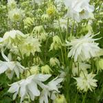 Aquilegia vulgaris 'White Barlow' - Akelei - Aquilegia vulgaris 'White Barlow'