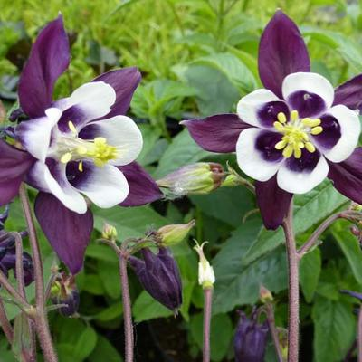 Aquilegia vulgaris 'William Guiness'  - Akelei