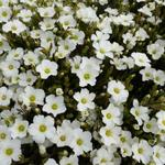 Arenaria montana - Zandkruid - Arenaria montana