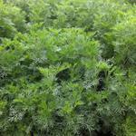 Artemisia abrotanum - Citroenkruid - Artemisia abrotanum