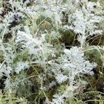 Artemisia arborescens 'Little Mice' - Alsem