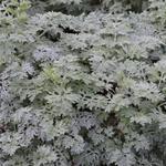 Artemisia 'Powis Castle' - Alsem - Artemisia 'Powis Castle'