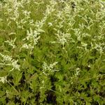 Artemisia lactiflora 'Jim Russel' - Alsem - Artemisia lactiflora 'Jim Russel'