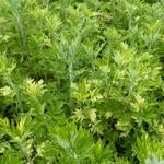 Artemisia vulgaris 'Oriental Limelight' - Artemisia vulgaris 'Oriental Limelight' - Bijvoet, alsem