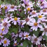 Aster ageratoides 'Harry Schmidt' - Aster
