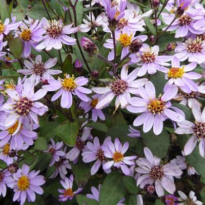 Aster - Aster ageratoides 'Harry Schmidt'
