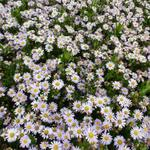 Aster ageratoides 'Stardust' - Aster