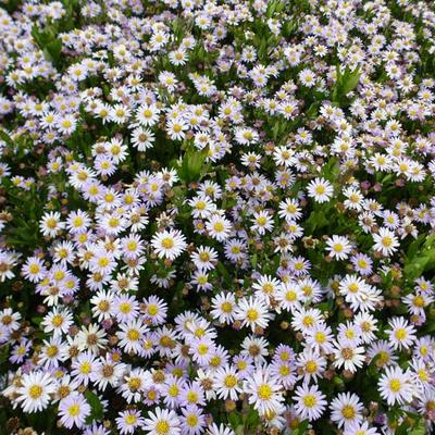 Aster ageratoides 'Stardust' - Aster - Aster ageratoides 'Stardust'