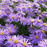 Aster amellus 'Sonora' - Aster