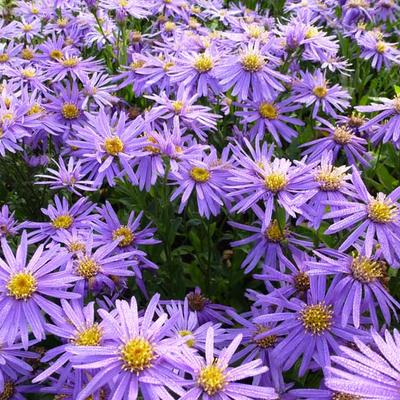 Aster - Aster amellus 'Sonora'