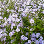 Aster - Aster cordifolius 'Blue Heaven'