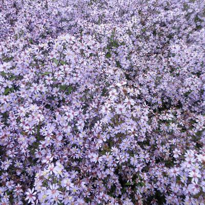 Aster cordifolius 'Blütenregen' - Herfstaster - Aster cordifolius 'Blütenregen'