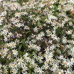 Aster divaricatus 'Beth Chatto' - Aster, Sneeuwsteraster - Aster divaricatus 'Beth Chatto'