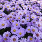 Herfstaster - Aster dumosus 'Herbstpurzel'
