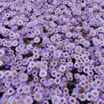 Aster dumosus 'Lady in Blue'  - Herfstaster - Aster dumosus 'Lady in Blue'