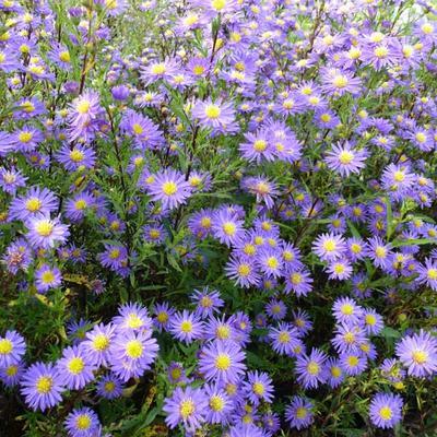 Aster ericoides 'Blue Wonder' - Heideaster - Aster ericoides 'Blue Wonder'