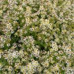 Aster ericoides 'Golden Spray' - Herfstaster - Aster ericoides 'Golden Spray'