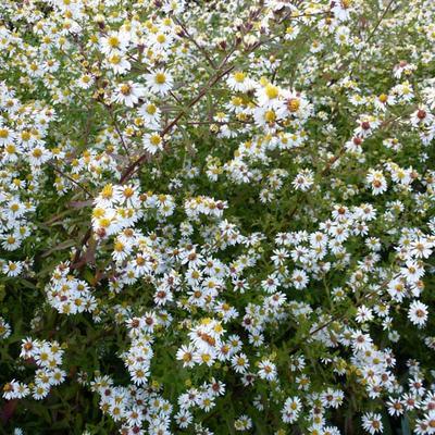Aster ericoides 'Herbsmyrte' -