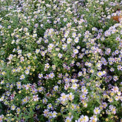 Aster ericoides 'Lovely' - Heideaster - Aster ericoides 'Lovely'