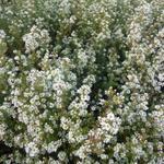 Aster ericoides 'Schneetanne' - Herfstaster - Aster ericoides 'Schneetanne'