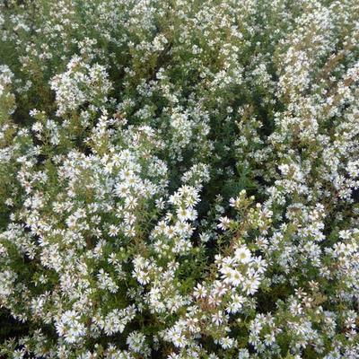 Aster ericoides 'Schneetanne' - Heideaster - Aster ericoides 'Schneetanne'