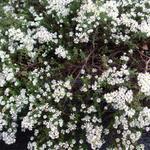 Aster ericoides 'Snowflurry' - Steenaster - Aster ericoides 'Snowflurry'