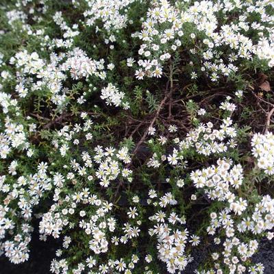 Aster ericoides 'Snowflurry' - Heideaster, Steenaster - Aster ericoides 'Snowflurry'
