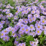 Aster frikartii 'Jungfrau'  - Aster frikartii 'Jungfrau'  - Aster
