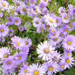 Herfstaster - Aster 'JS Barts Blue Beauty'