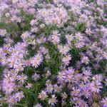 Aster - Aster ericoides 'Pink Star'