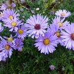 Aster 'Wood's Light Blue' - Aster 'Wood's Light Blue' - Aster
