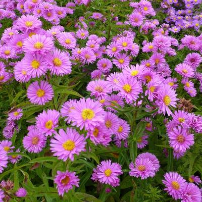 Aster 'Wood's Pink' -
